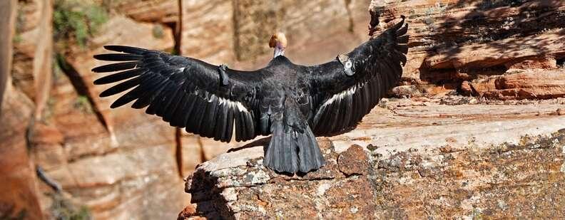 California condor in Zion National Park