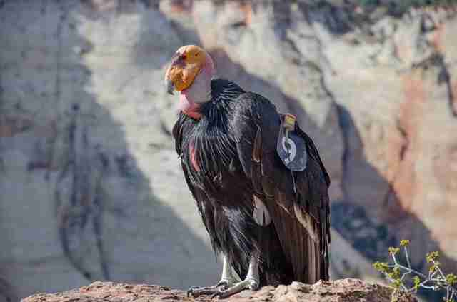 California condor in Zion National Park