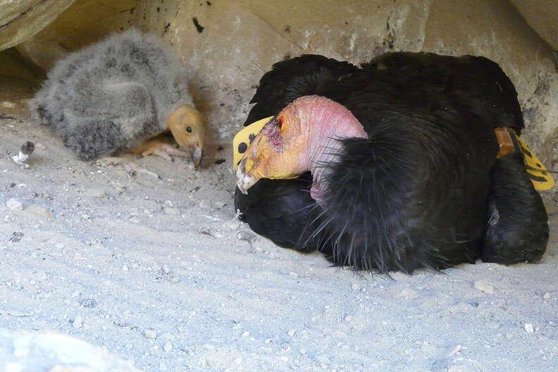 California condor chick and parent