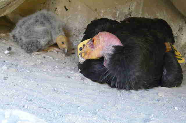California condor chick and parent