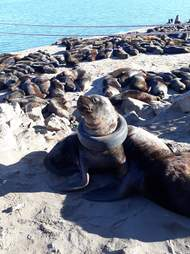 Asea lion in Argentina with a tire around his neck