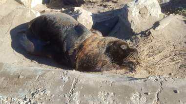 The sea lion after the tire was removed