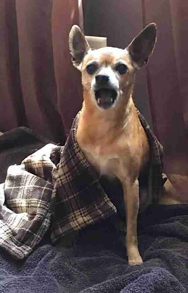 Senior Chihuahua from viral shelter photo gets happy ending