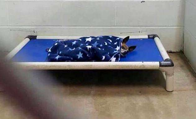 Chihuahua tucks himself in at the shelter