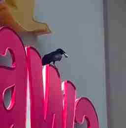 Wild crow robs innocent guy walking through WaWa parking lot
