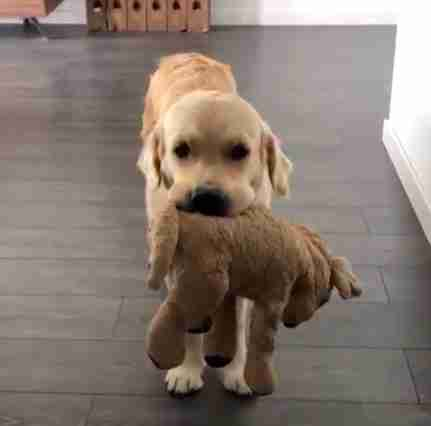 Golden retriever does everything with his mini-me toy
