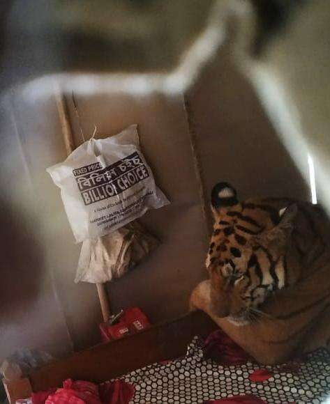 tiger breaks into house