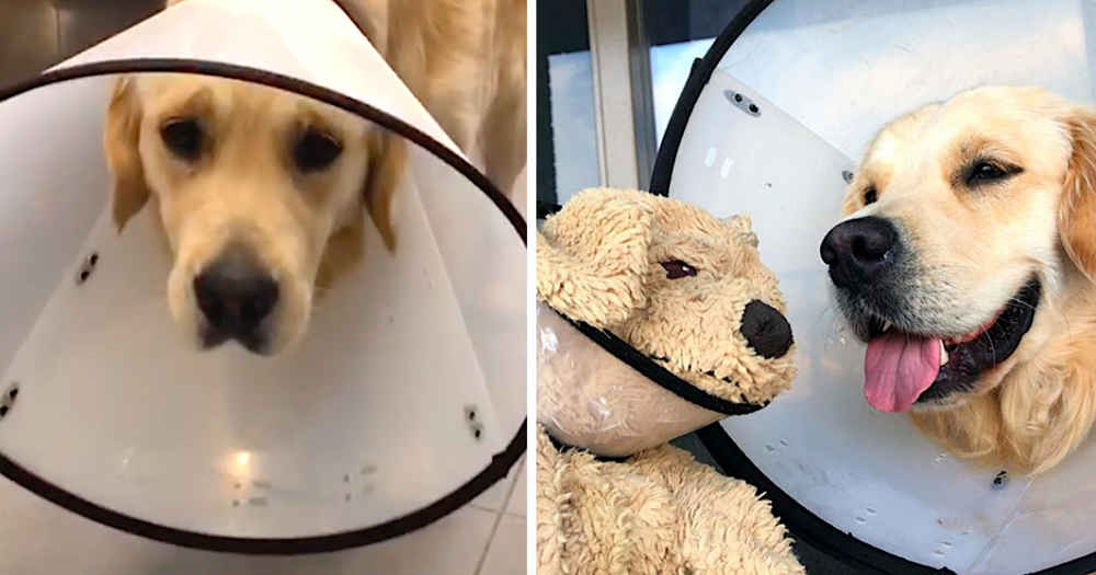 Dog Feels So Much Better When His Friend Gets A Cone, Too