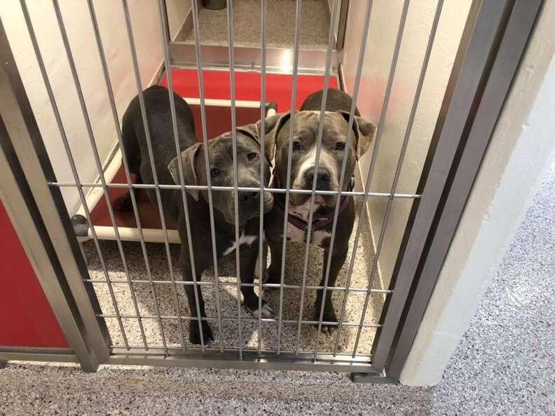 Bonded pit bulls Agatha and Jukebox in Arizona shelter