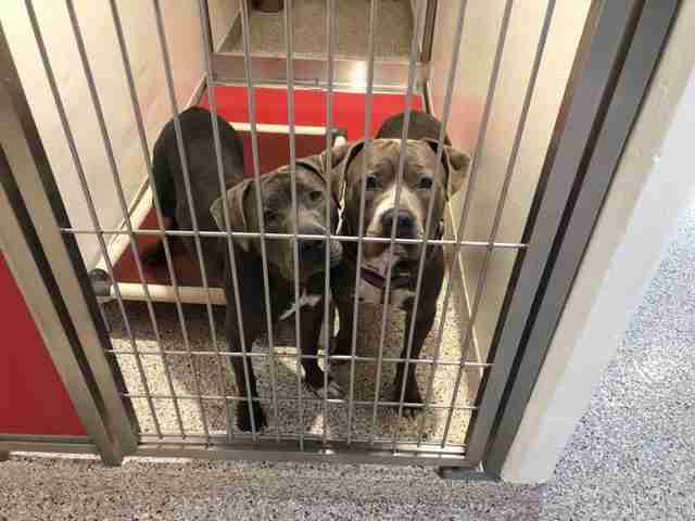 Bonded pit bulls Agatha and Jukebox in Arizona shelter