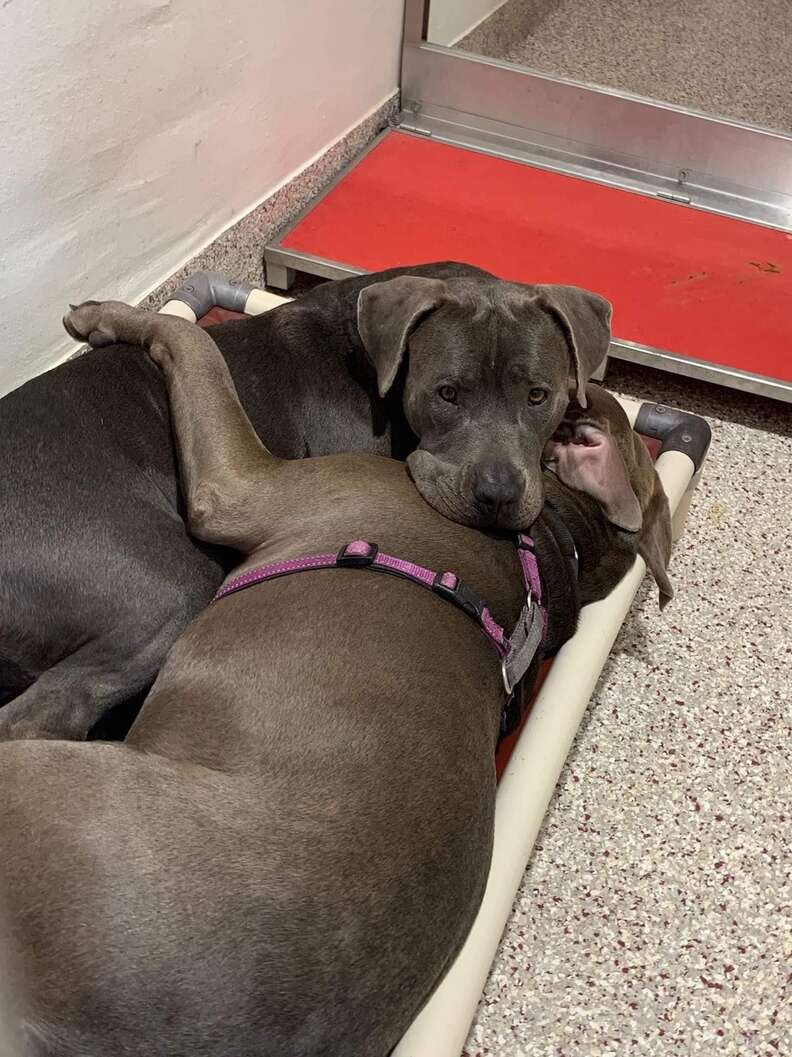 Two dogs cuddling in their shelter bed