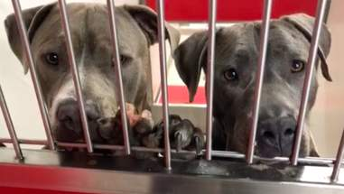 Bonded dogs Agatha and Jukebox at Pima Animal Care Center