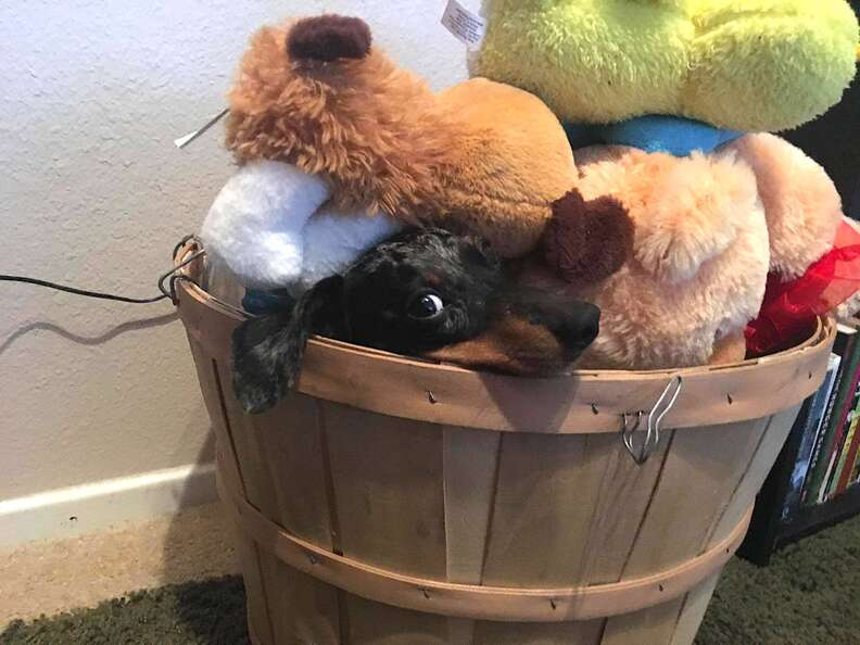 Sneaky Dachshund hides from owner by camouflaging in toy bin
