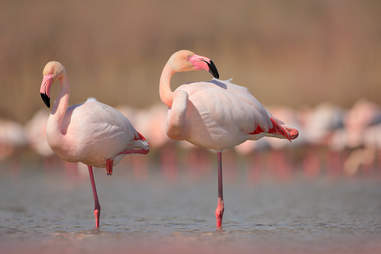 Flamingos standing on one leg in the water