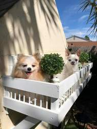 Dogs on the balcony of their mansion