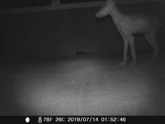 A hairless fox mistaken for a chupacabra