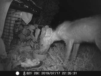 Hairless fox eats food in trap