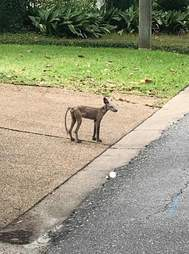A fox suffering from mange in Ocean Springs, Mississippi