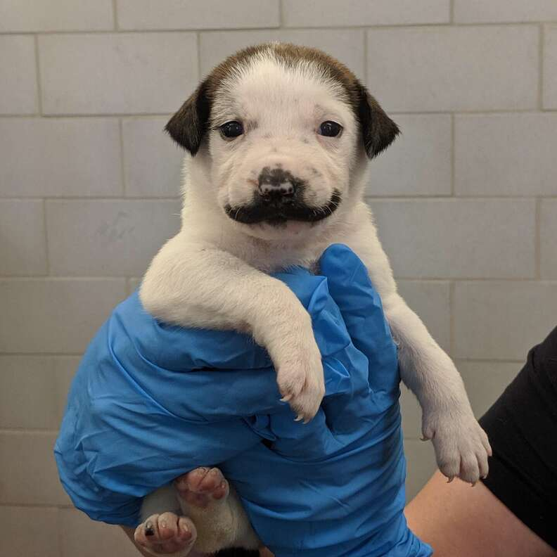 Puppy born with handlebar mustache