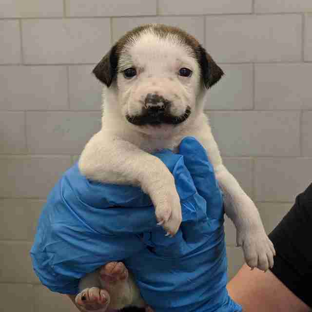 Puppy born with handlebar mustache