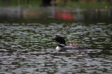loons adopt duckling