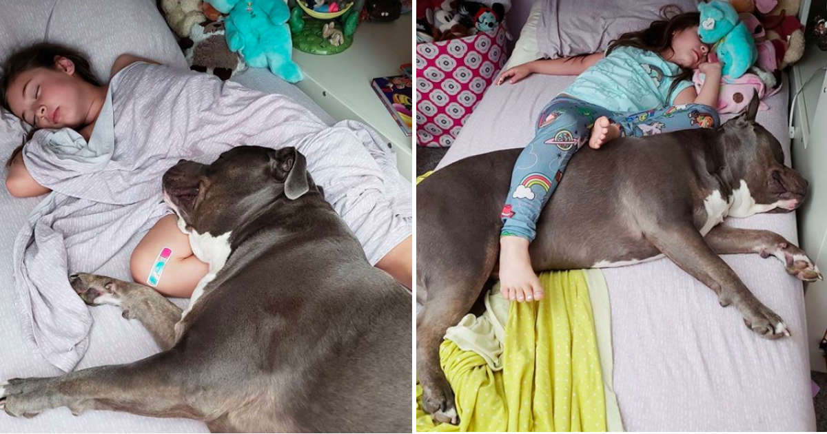 This Pittie Can't Sleep Without His Little Girl By His Side