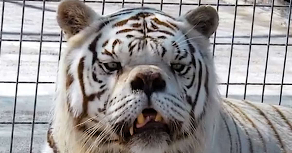 The Sad Truth Behind White Tigers Videos The Dodo