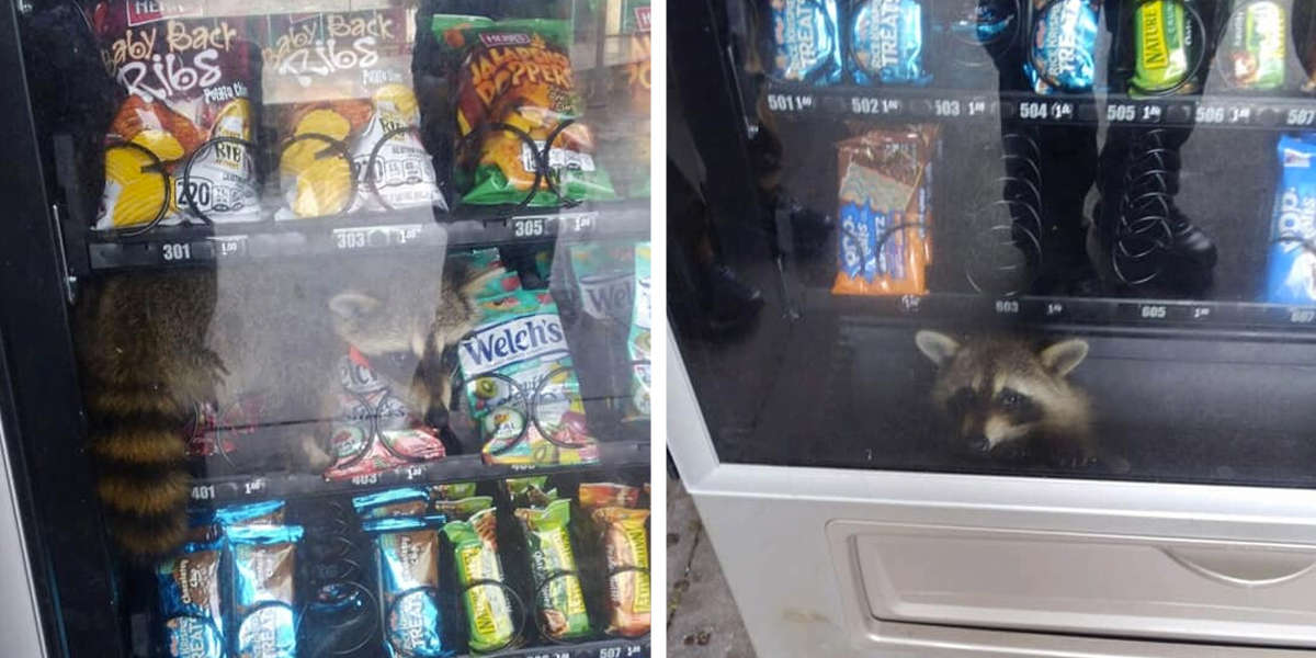 Raccoon Caught Red-Handed After Vending Machine Heist Goes Wrong