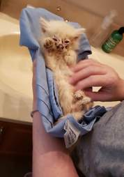 Nimbus the kitten after being found on the road