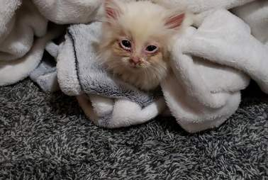 Nimbus the kitten snuggles in a blanket