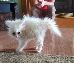 Nimbus the kitten frightens her dog siblings