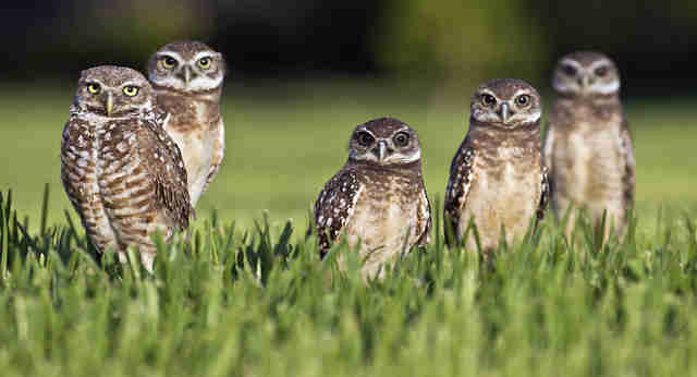 Little Owls Are Very Angry After Finding A Hidden Camera Outside Their Den
