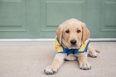 Elijah the service dog as a puppy