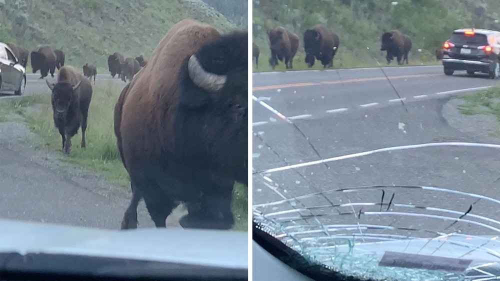 A Bison Stampede Smashed Up This Family's Car & Made Them Wish They Got the Insurance