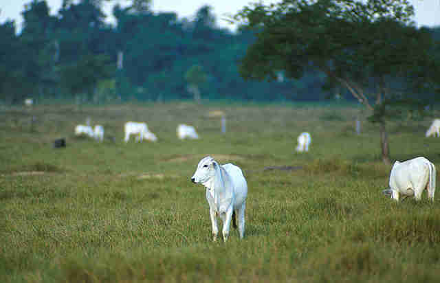 cattle in Brazil