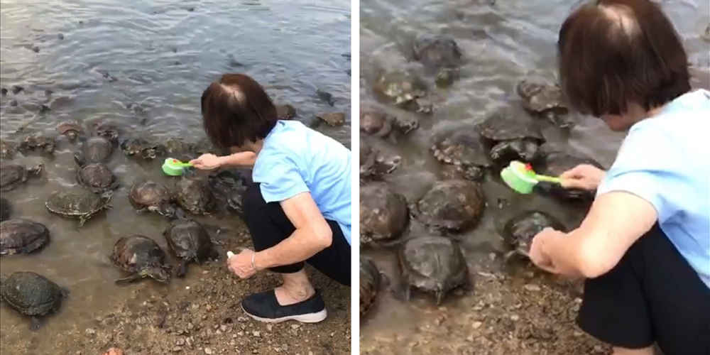 Turtles Line Up For A Scrub When They Notice Lady Has A Brush