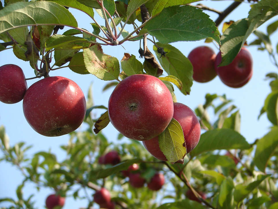Best Apple Picking Near NYC: Apple Farms & Orchards to Visit
