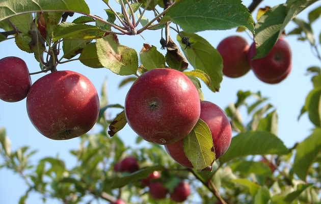 Apple Picking Season Has Arrived: The Best Farms and Orchards Near NYC