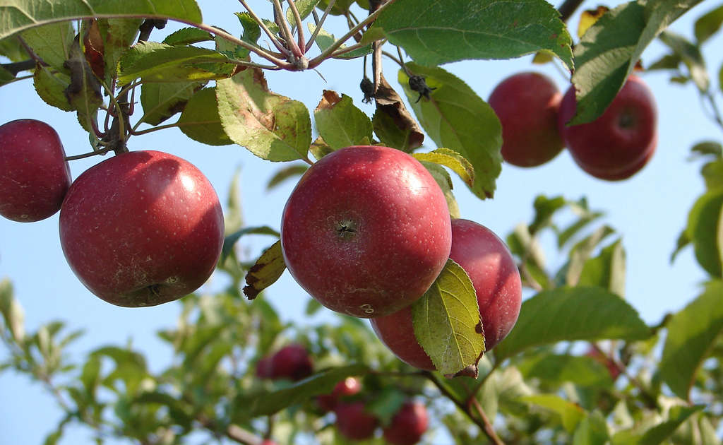 Cool Best Apple Picking Near Nyc Apple Farms Orchards To Visit Download Free Architecture Designs Pushbritishbridgeorg