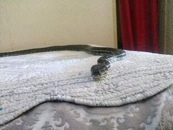 snake falls through roof