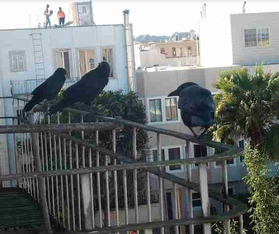 Crows Keep Bringing Presents To Woman Who Is Kind To Them