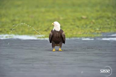 Bald eagle looks like he's peeing