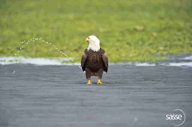 Bald eagle looks like he's peeing