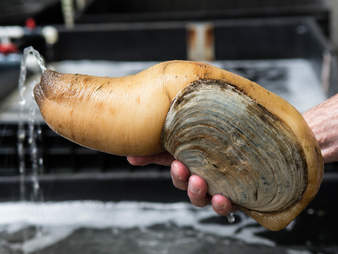 A geoduck clam squirting out water