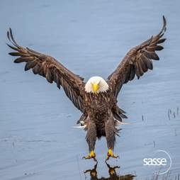 A bald eagle lands on a beach in Vancouver, BC