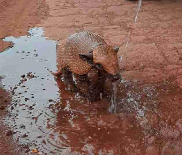 Thirsty Armadillo Is So Happy Someone Stopped To Pour Him A Drink
