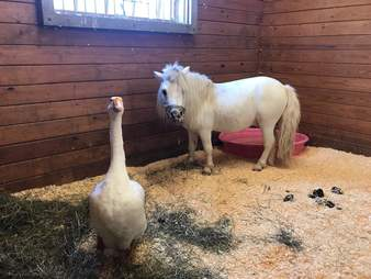 Goose and Mini horse best friends at PA shelter