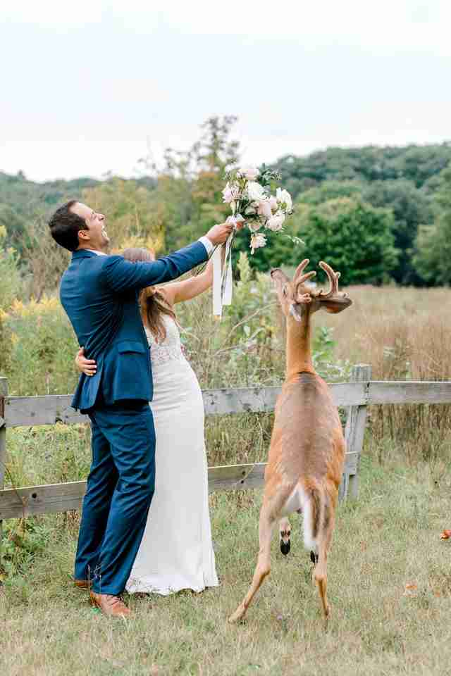Wild deer chows down on bride's bouquet