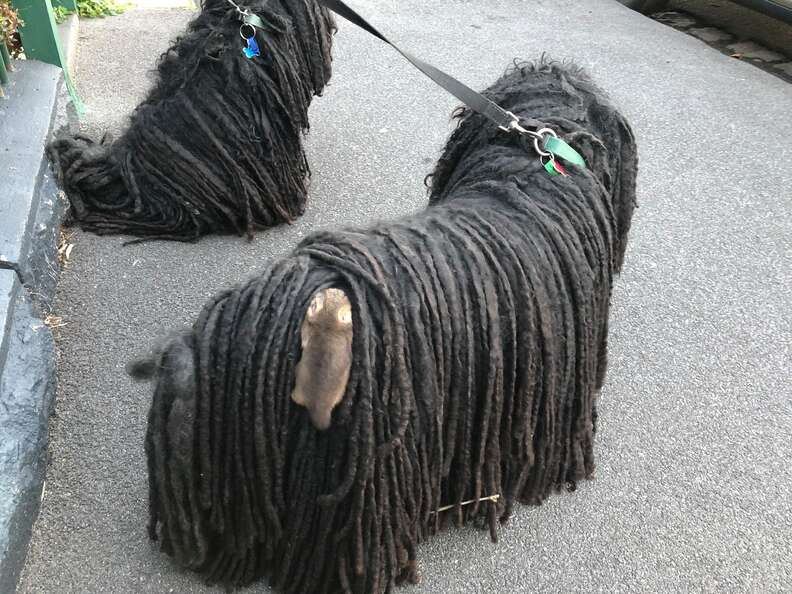 Baby possum hitches a ride on a puli dog named Kato