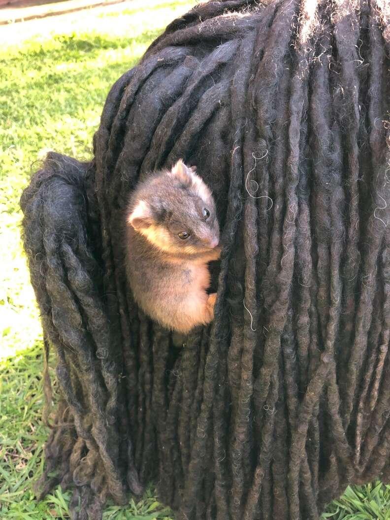 Brushtail possum holds onto dog's fur
